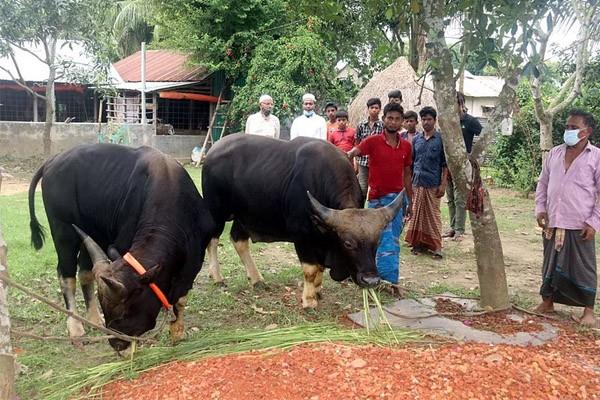 কোরবানির জন্য 'গয়াল' কিনলেন মেয়র সাক্কু