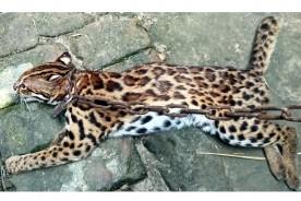 মুরাদনগরে মোটরসাইকেলের ধাক্কায় মেছো বাঘ আহত, চিকিৎসা চলছে
